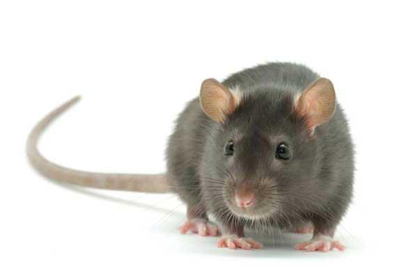 К чему снится крыса сонник ванги