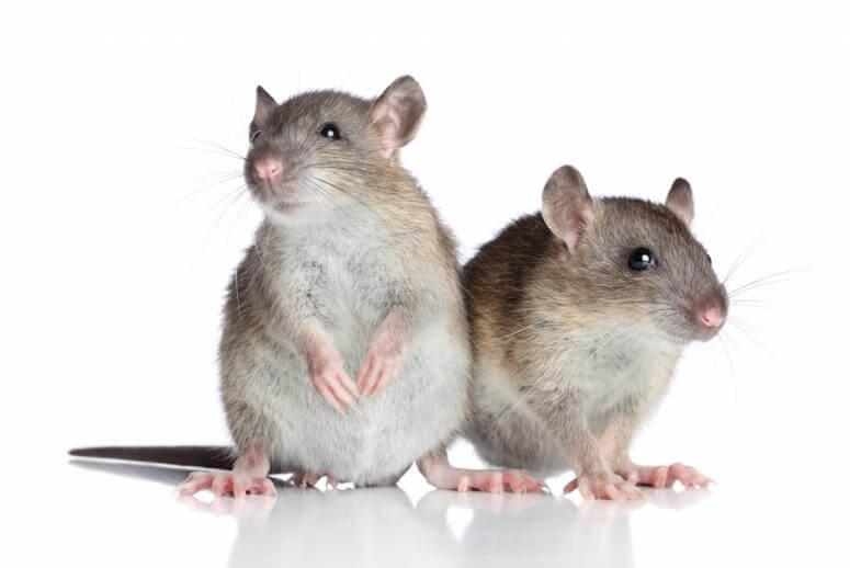 Сонник фрейда крысы