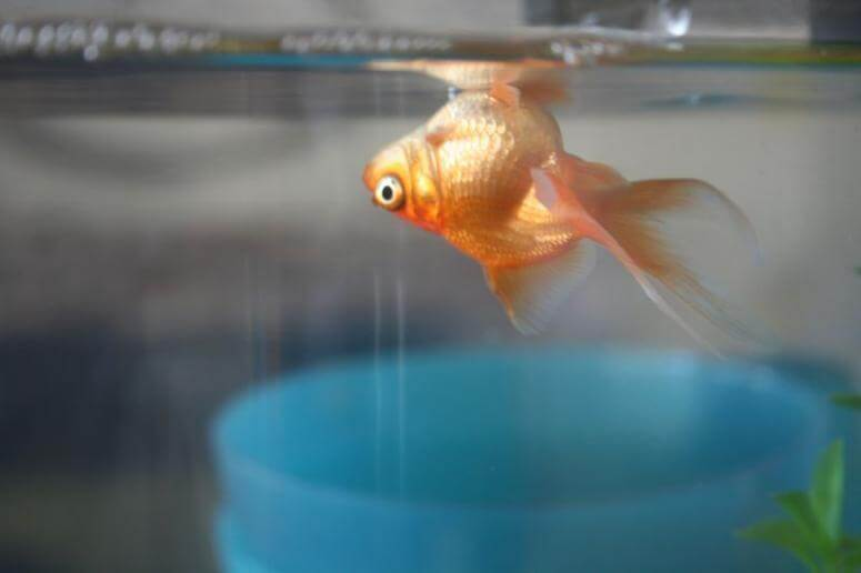 мертвая рыба в аквариуме