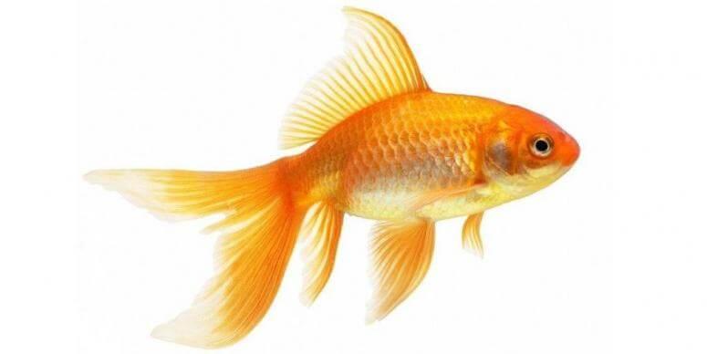 Сонник золотая рыбка во сне к чему снится золотая рыбка