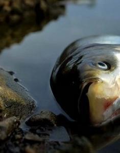 Если снится мертвая рыба thumbnail