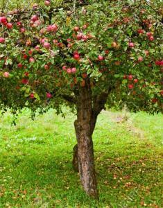 Что будет если во сне видеть яблоню thumbnail